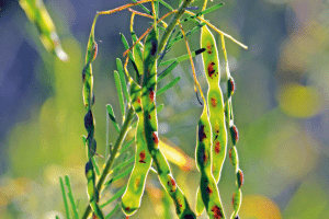 rain forest Australian bush healthy healthy aboriginal healing medicine beans plants