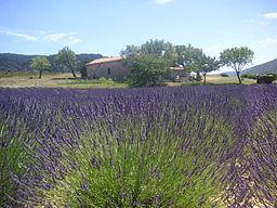 256px-Lavender_Field_Provence_France_021