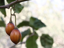 tamarillo_tree_wellbeing