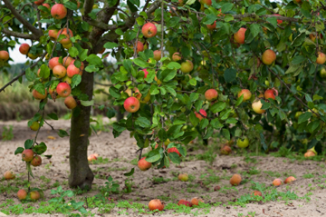 Your guide to fantastic fruit trees for every climate - Fruit trees every type weather area ...