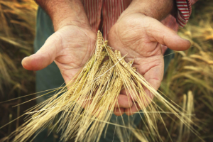 old farmer and his harvest farm wheat food nature planet future