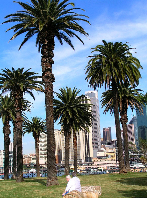 The former Canary Island Date Palms in Dawes Point Park