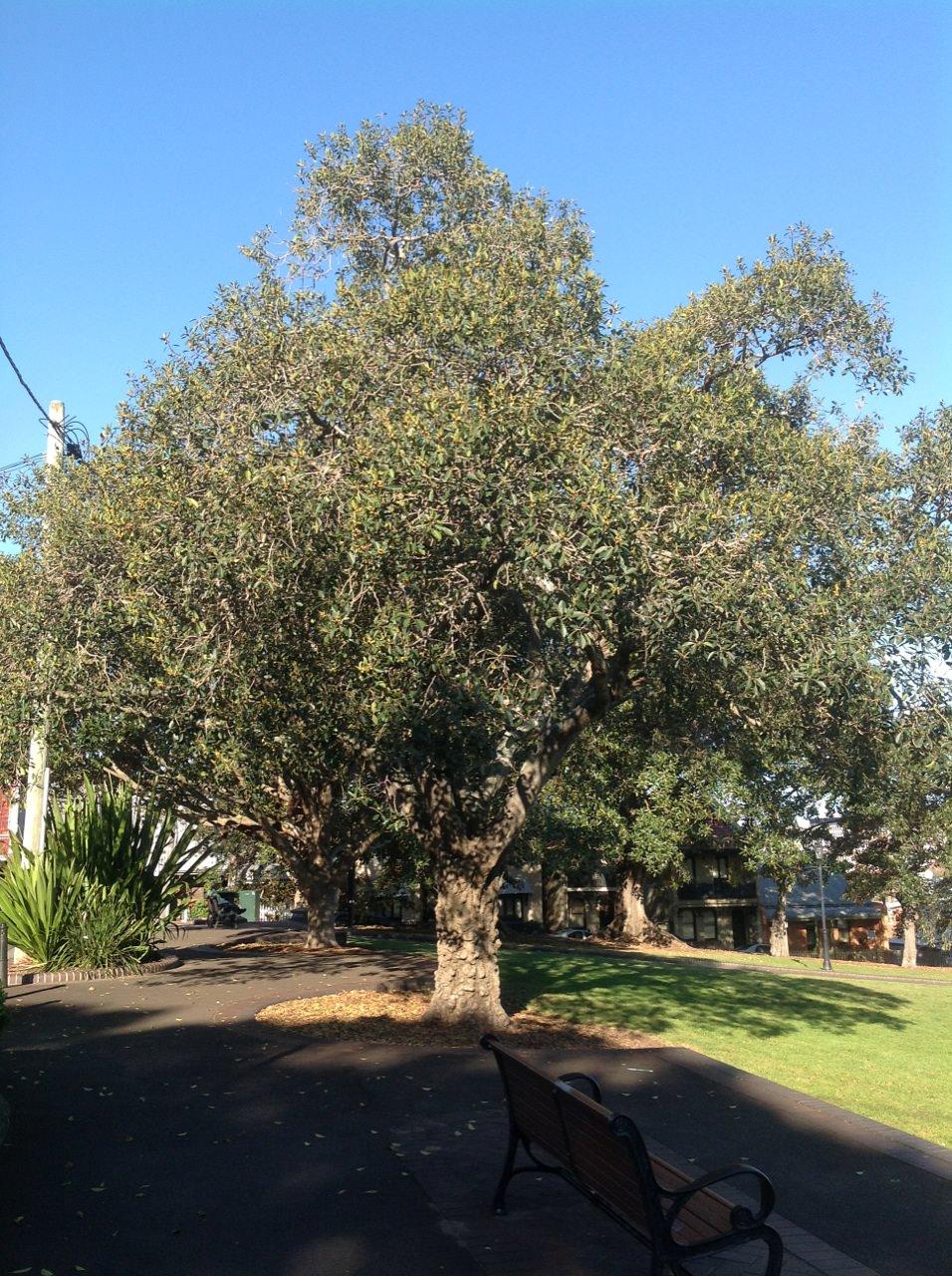 Port Jackson Fig