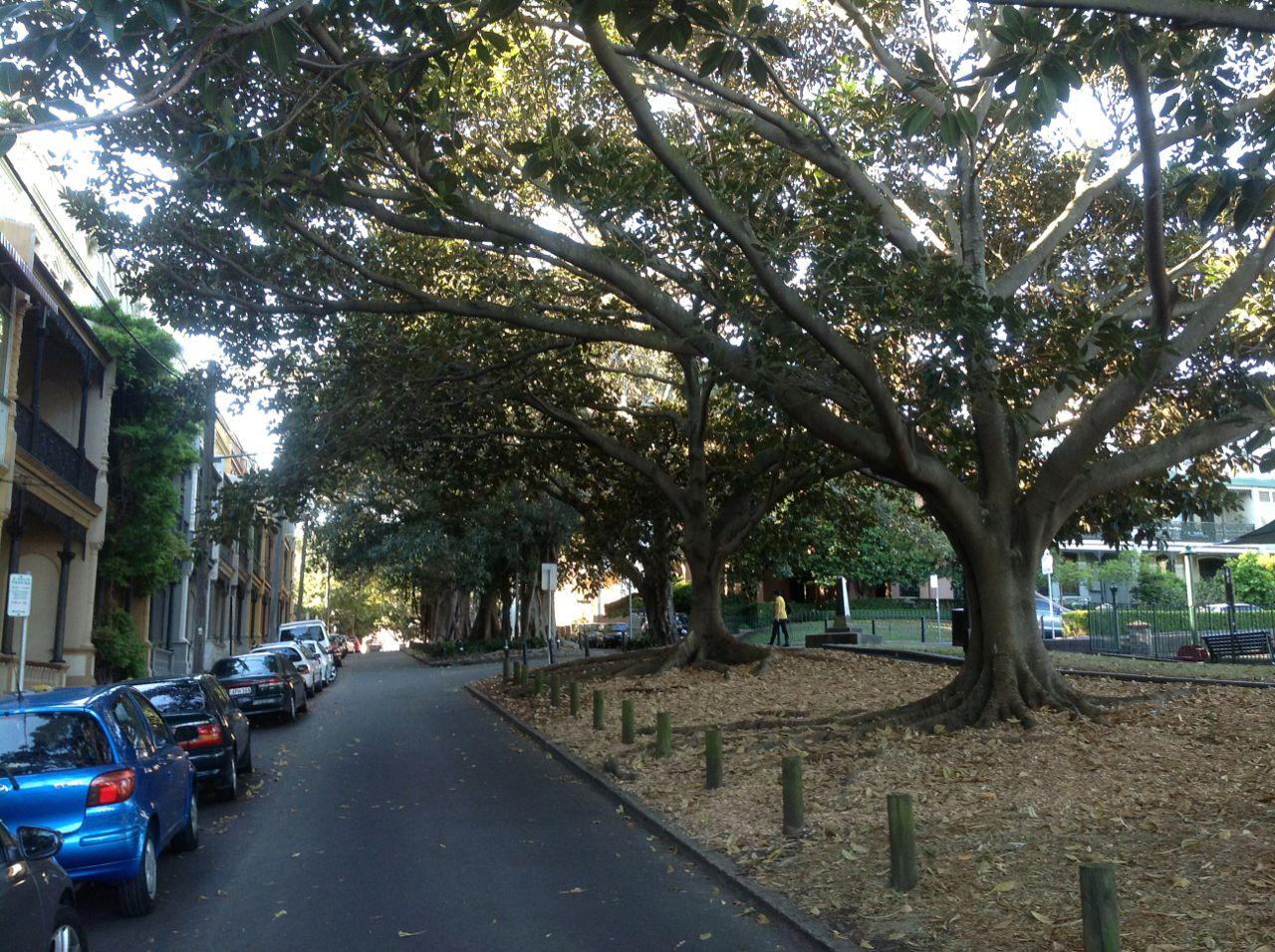 Moreton Bay Figs and Port Jackson Figs