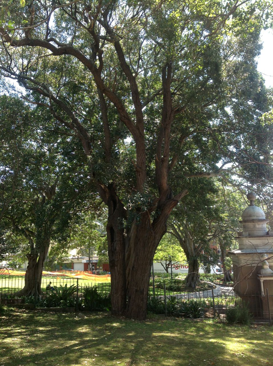 The Grey Iron Bark located in the grassed area of St Johns Anglican Church, Glebe Point Road, Glebe. This tree is thought to be the last remnant tree remaining since European settlement
