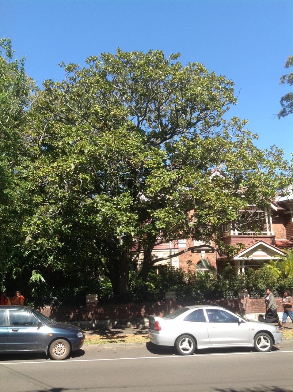 American Bull Bay Magnolia
