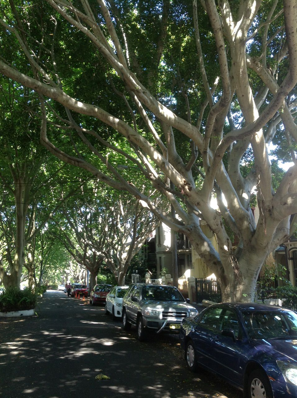 The avenue of large Hill's Fig in Arcadia Road Glebe