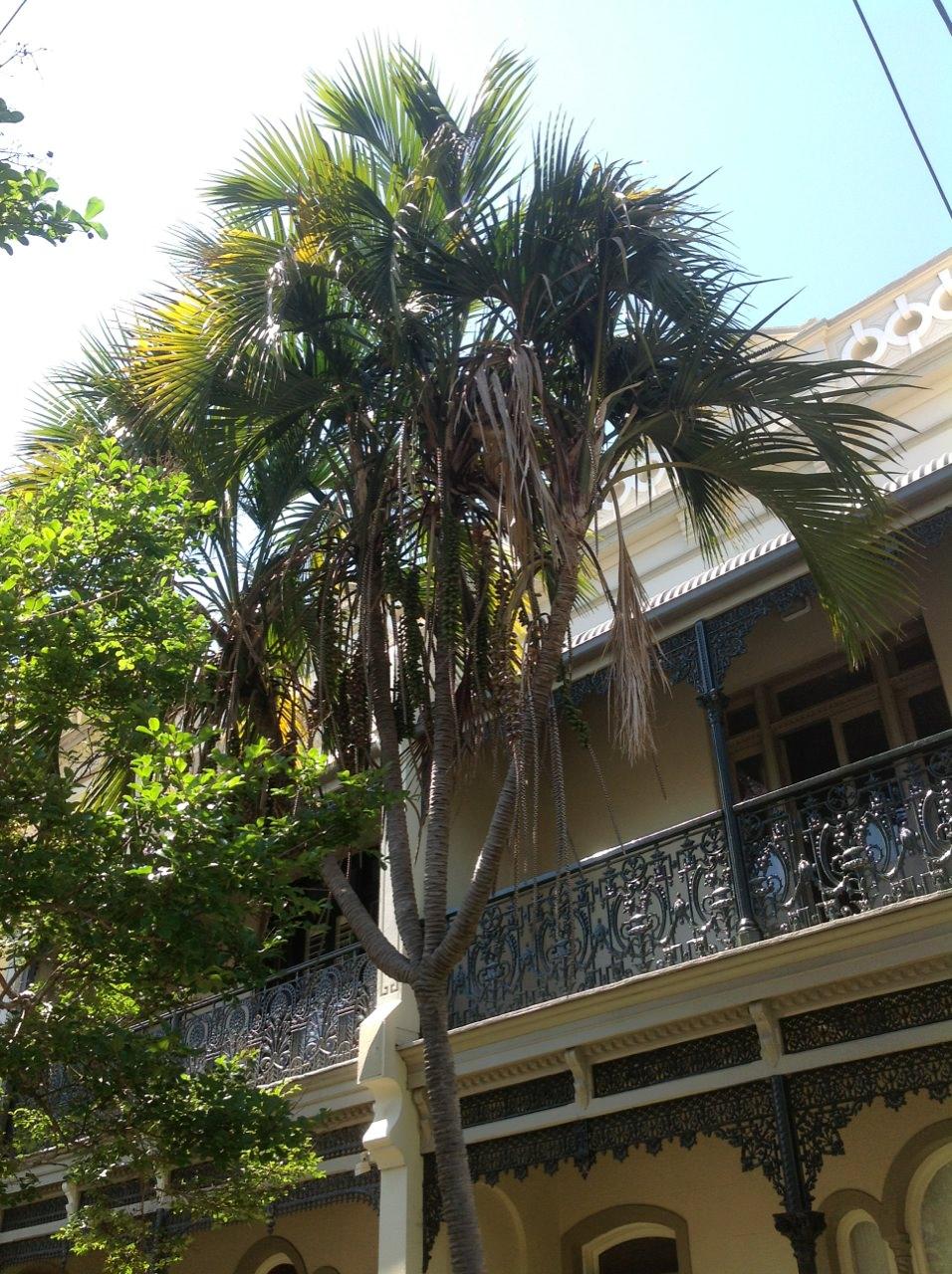 Sentry Palm