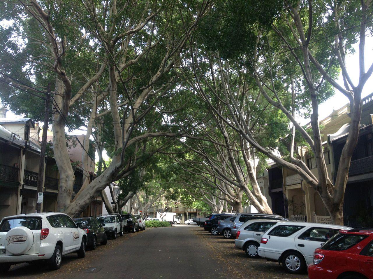 The avenue of Hill's Figs in Napier Street Paddington.
