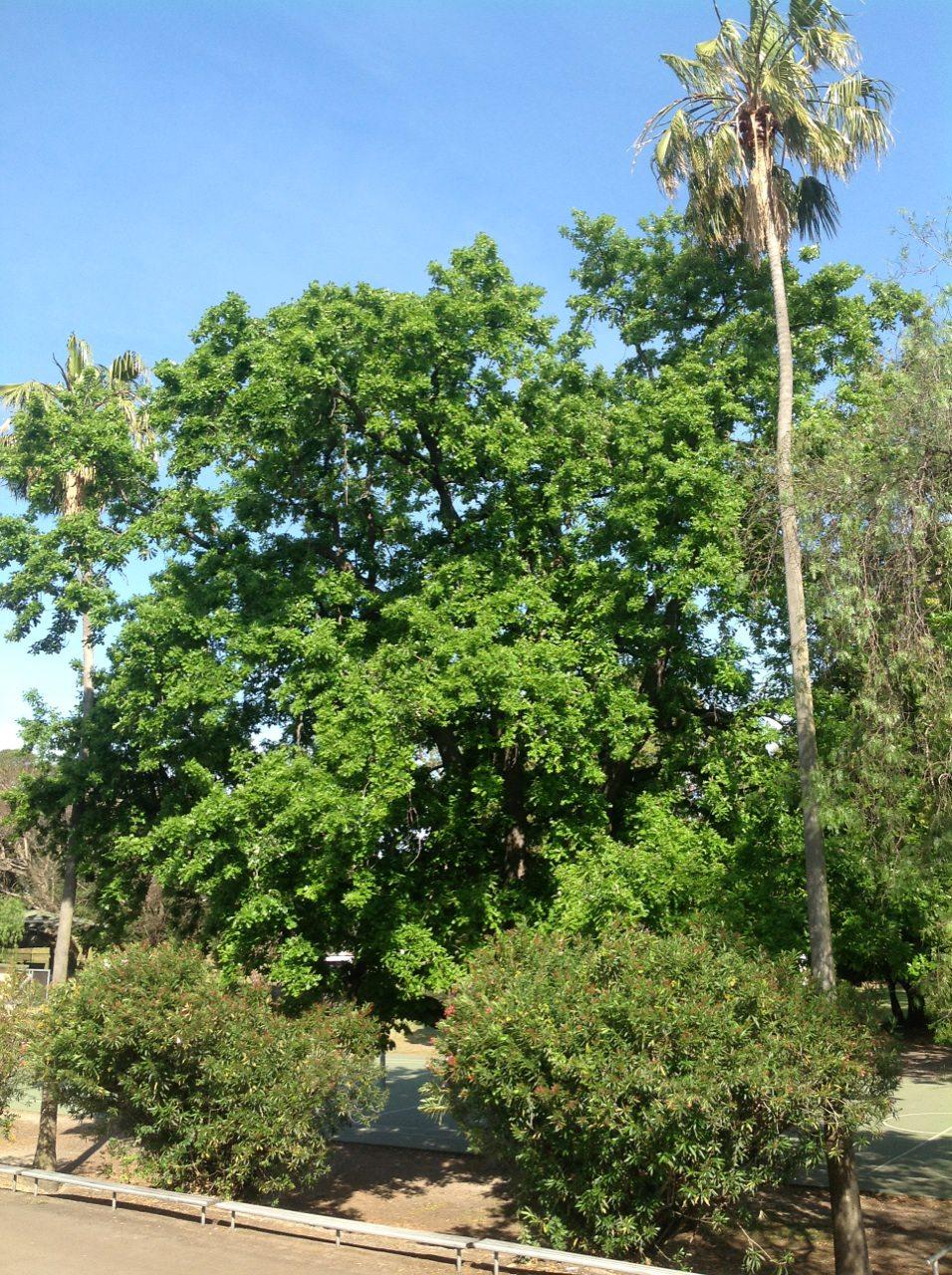 English Oak and Washington Palms