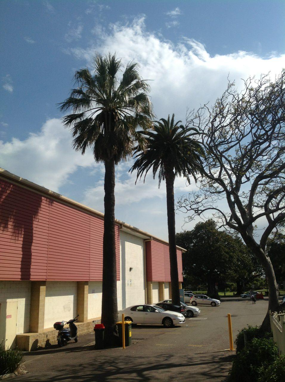 American Cotton Palms