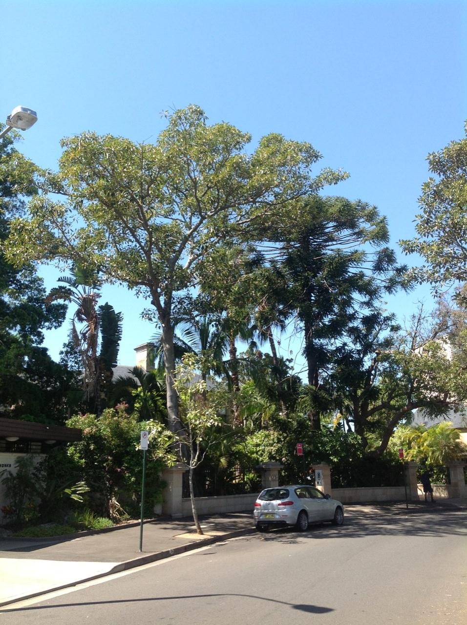 Bunya Pine and Fig