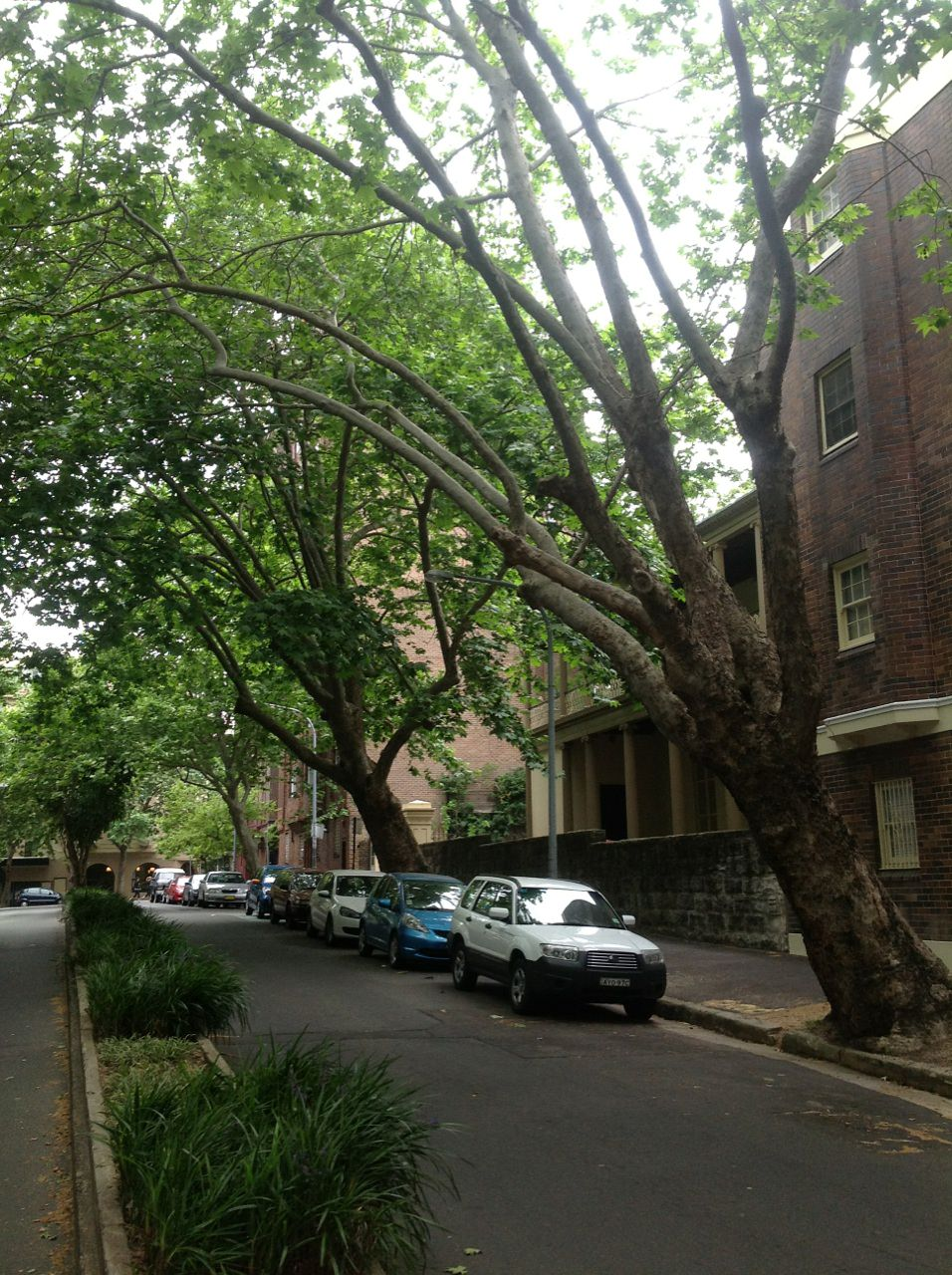 The London Plane Trees of Manning Street