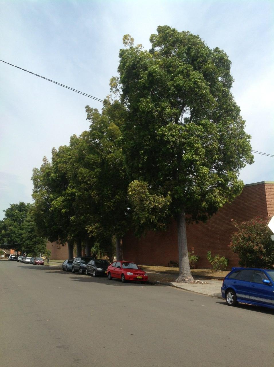 Queensland Kauri Pines