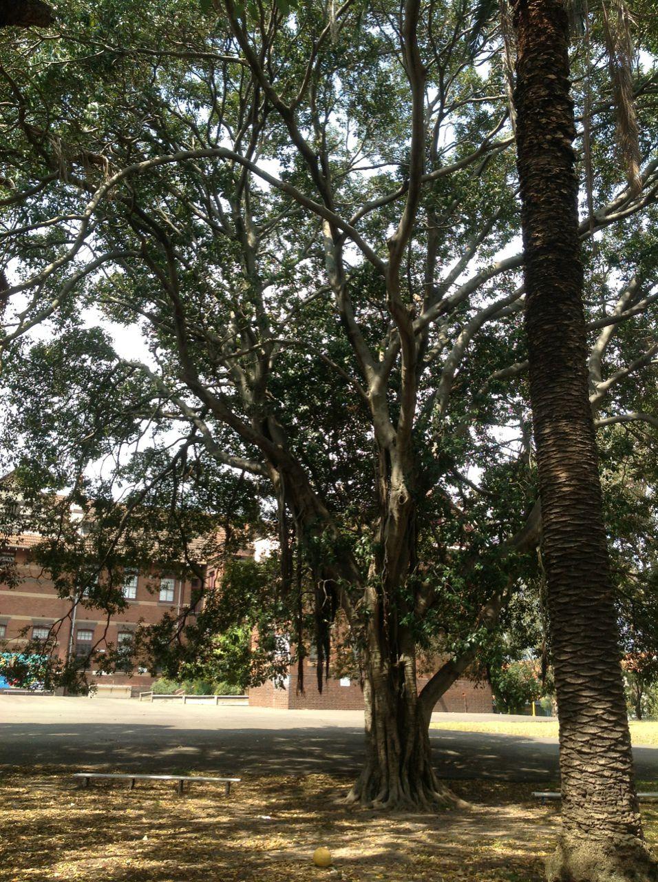 Port Jackson Fig and Canary Island Date Palm