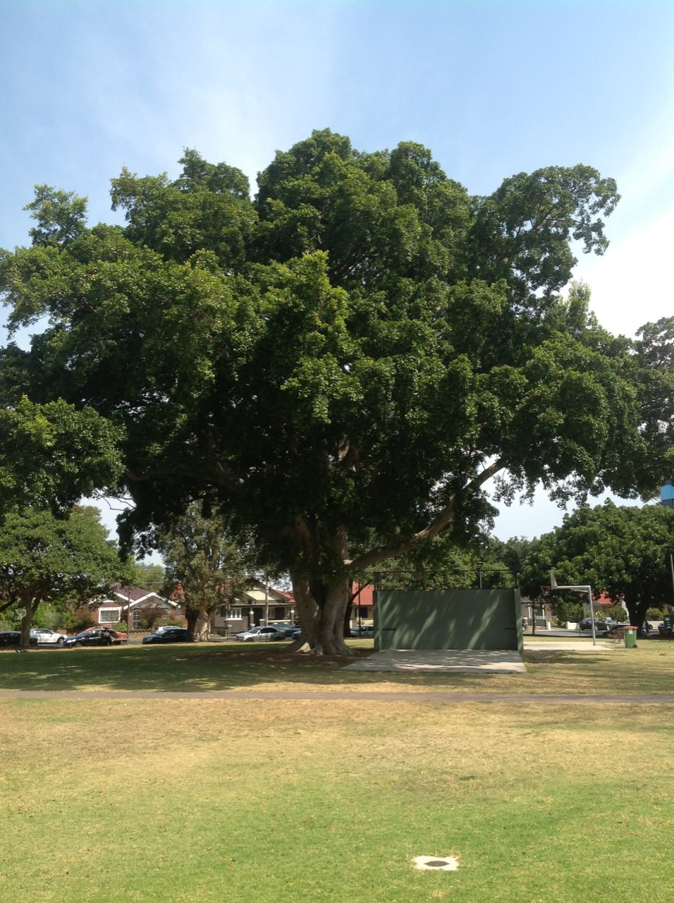 Hill's Fig