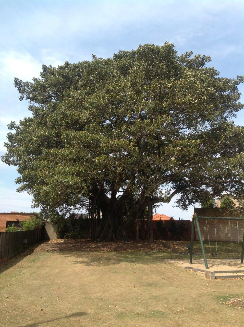 Morton Bay Fig