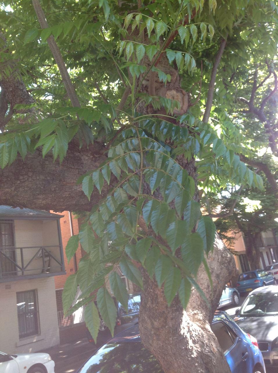 Chinese Rain Tree