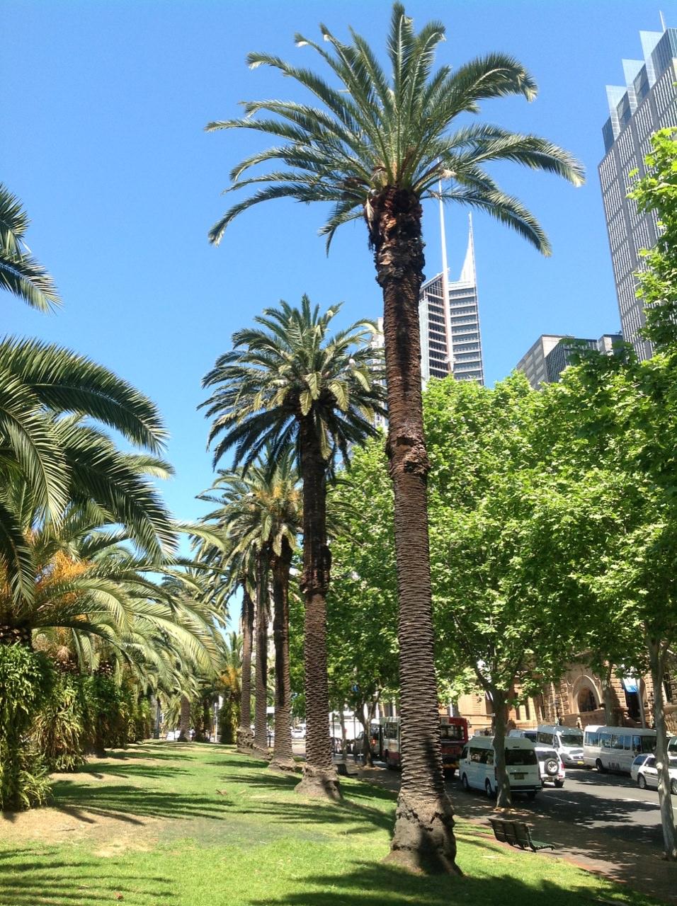 Canary Island Date Palms
