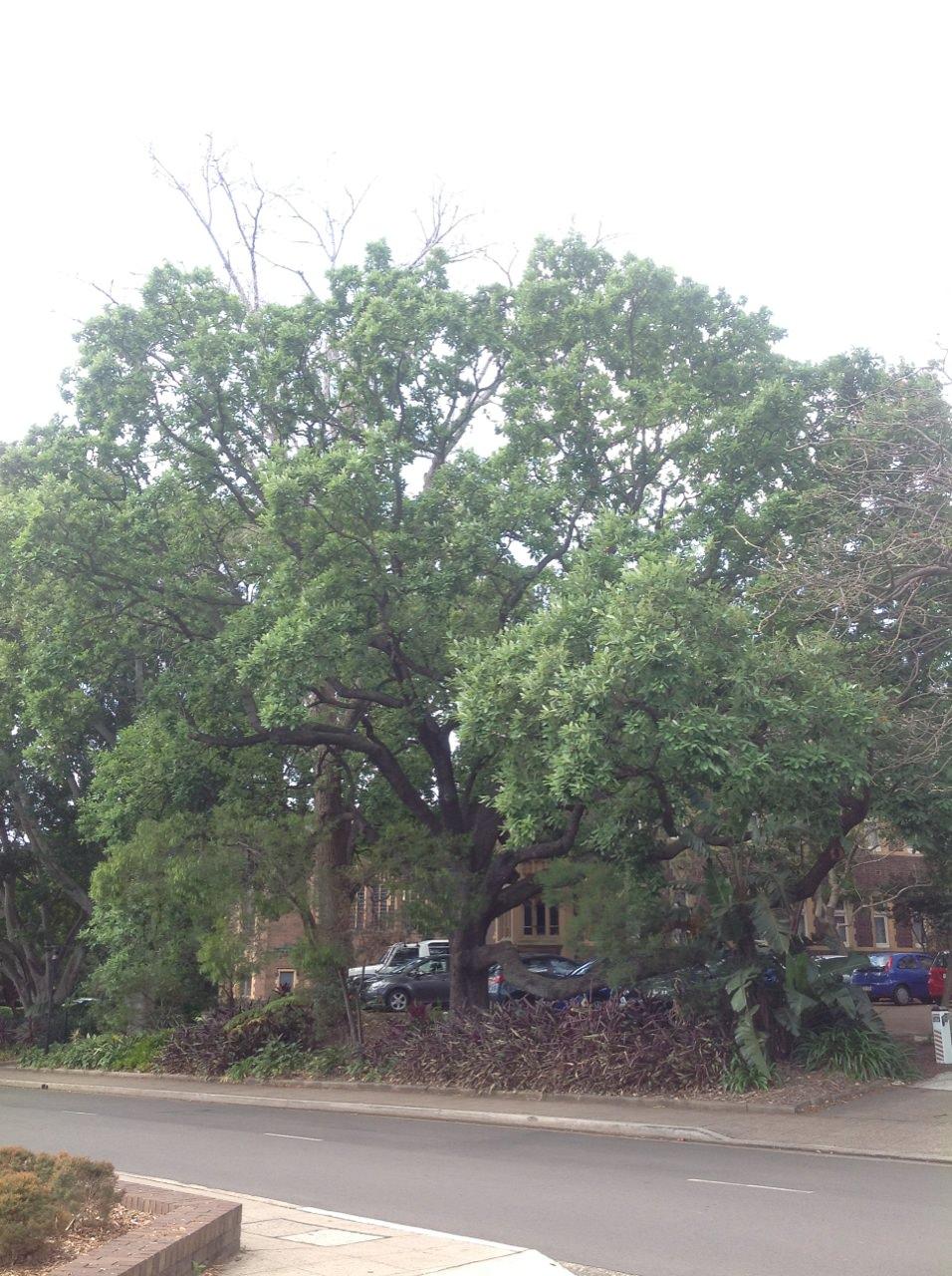 Sawtooth Oak and American Cottonwood