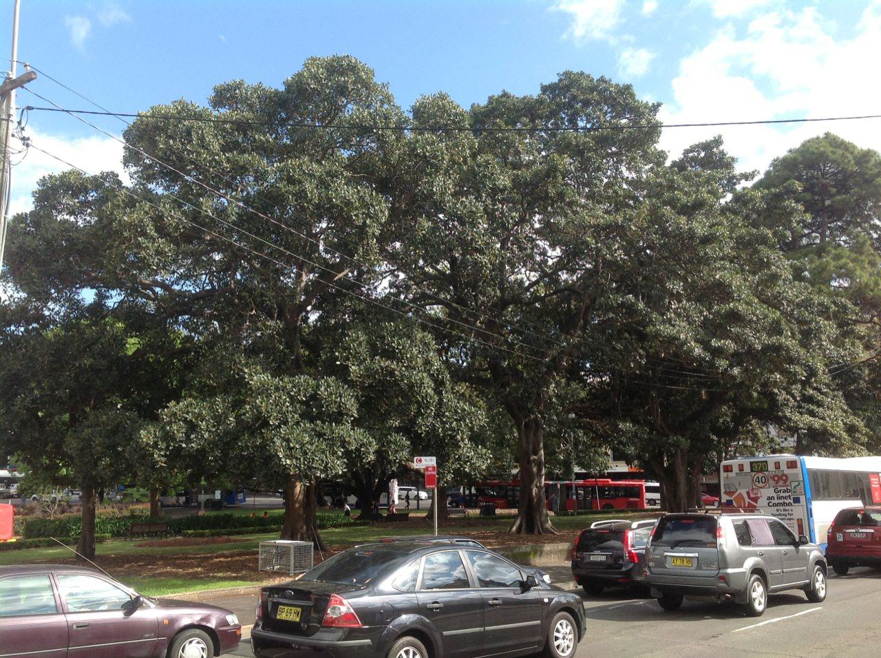 Port Jackson Figs