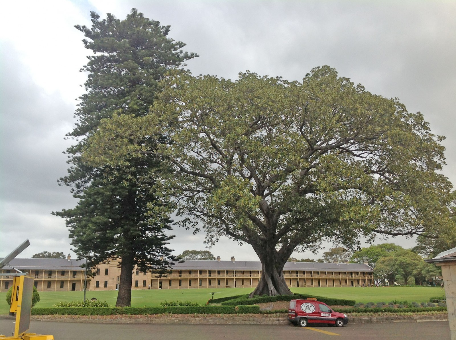 Moreton Bay Figs and Norfolk Island Pines