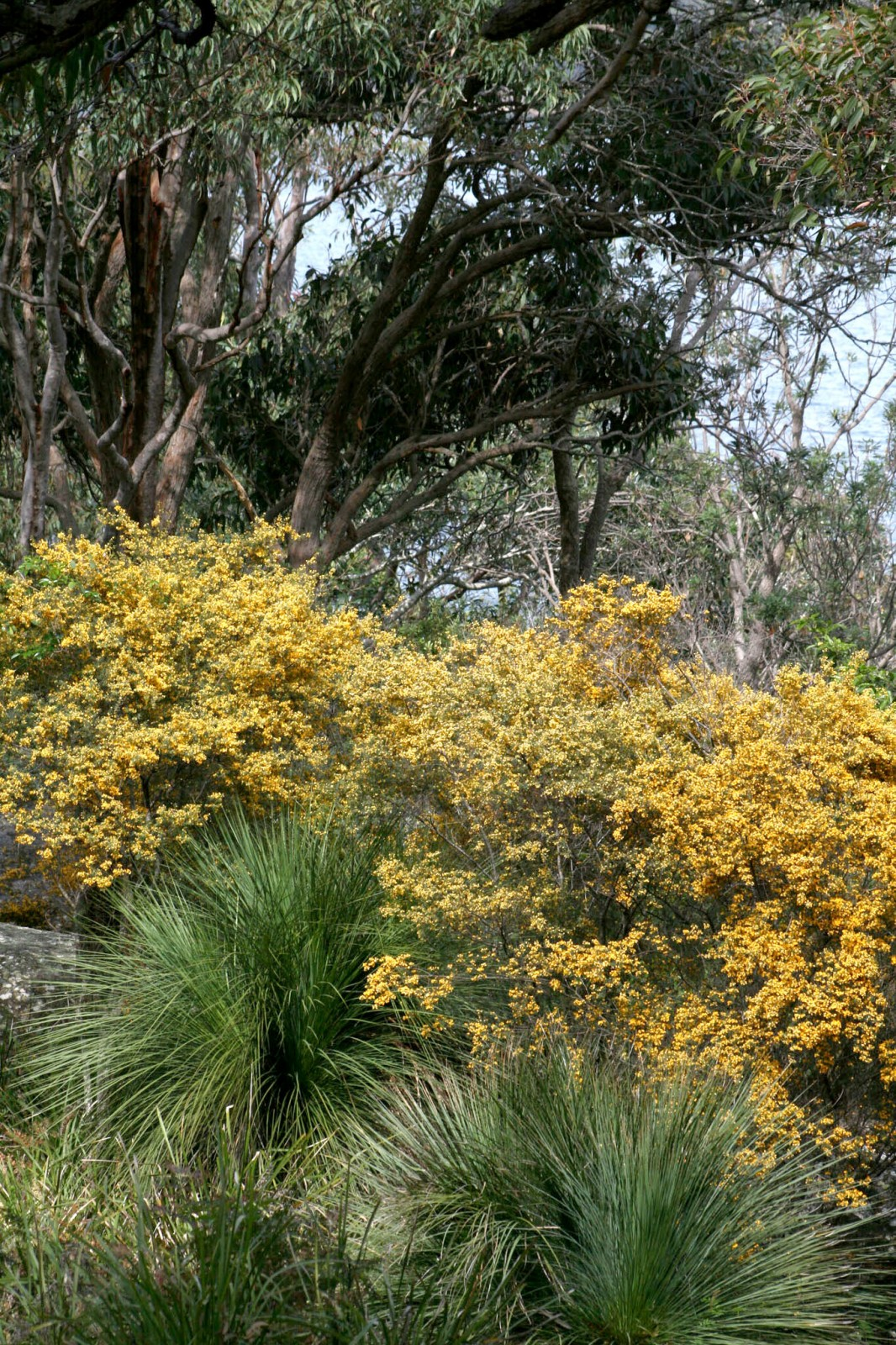 Natural vegetation and Eucalypt woodland and forests such as this would have once blanketed much of Sydney prior to European settlement.