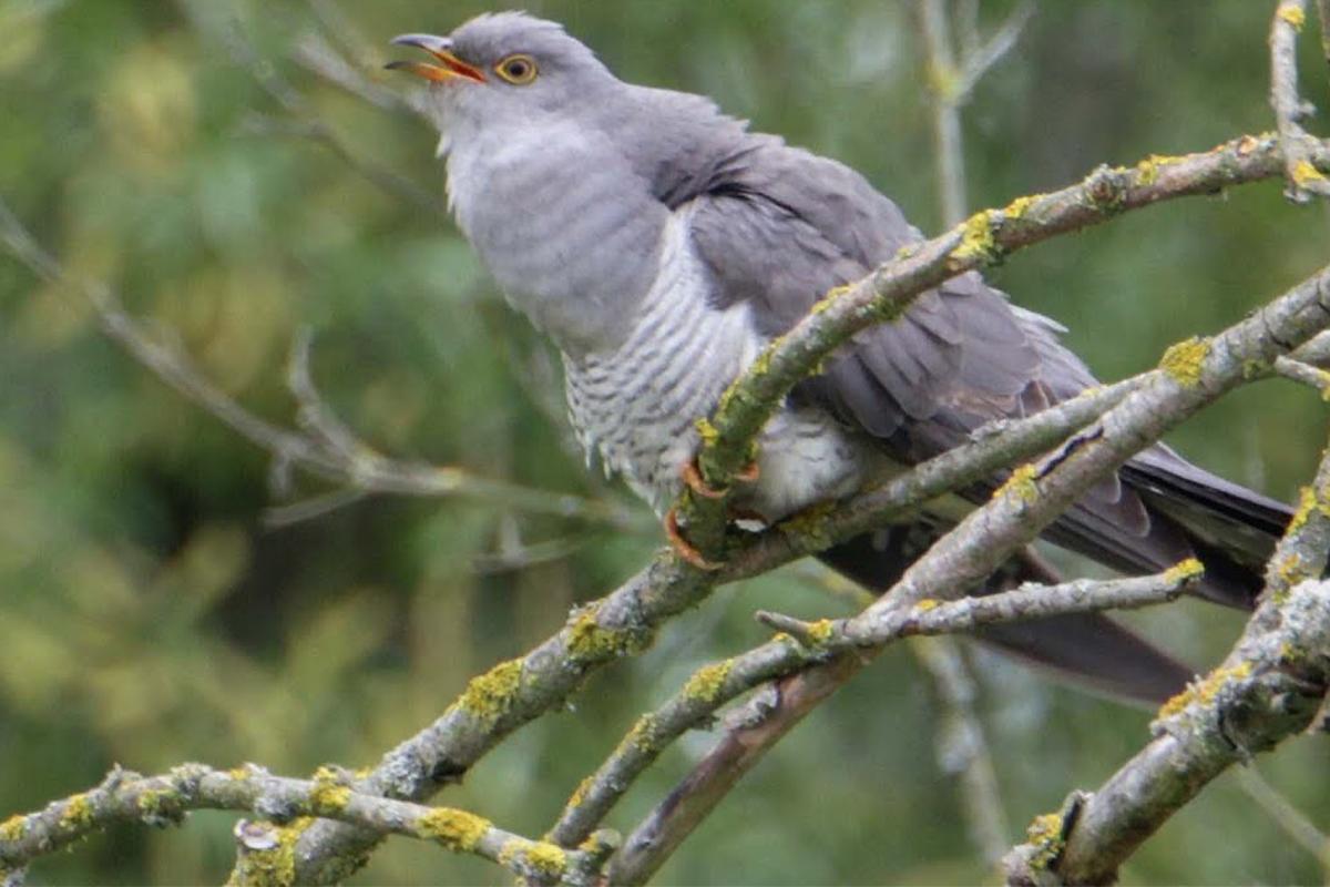 cuckoo, bird