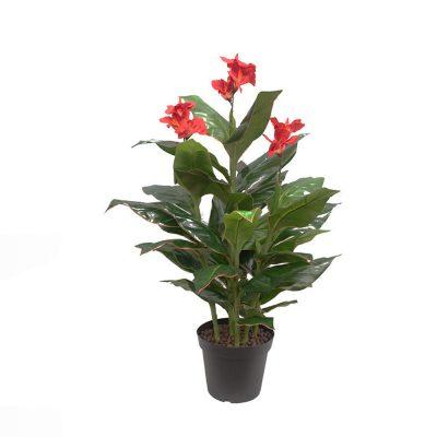CANNA PLANT