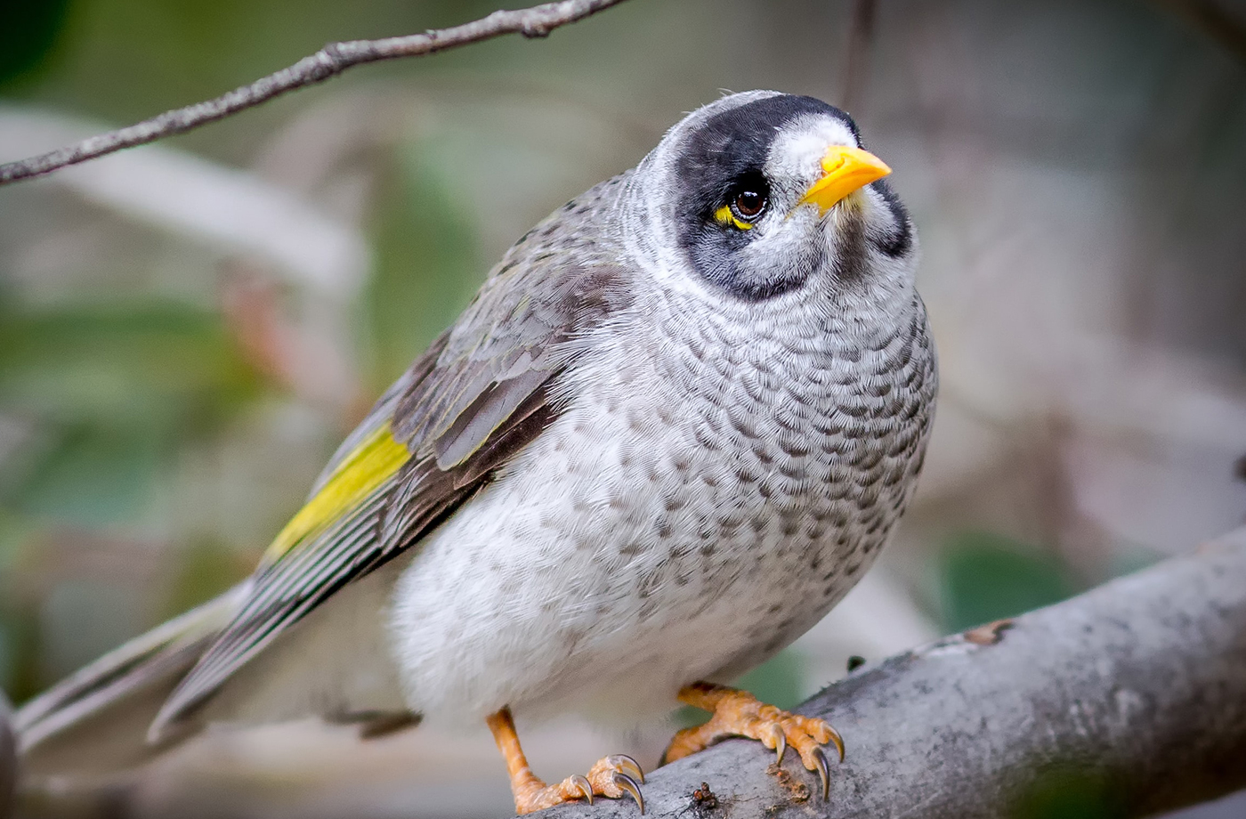 A grey bird with yellow tail and beak