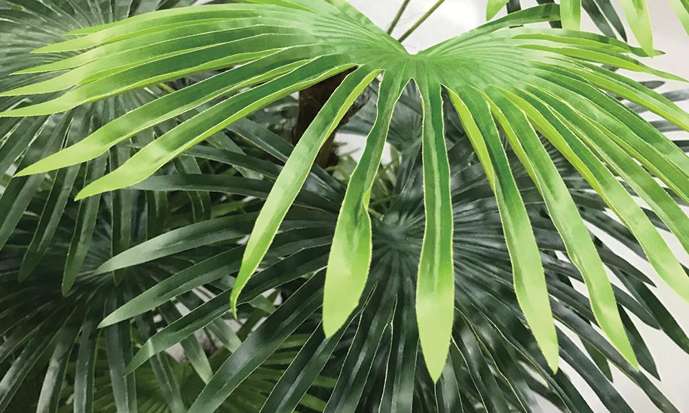 Fan palm 778 2