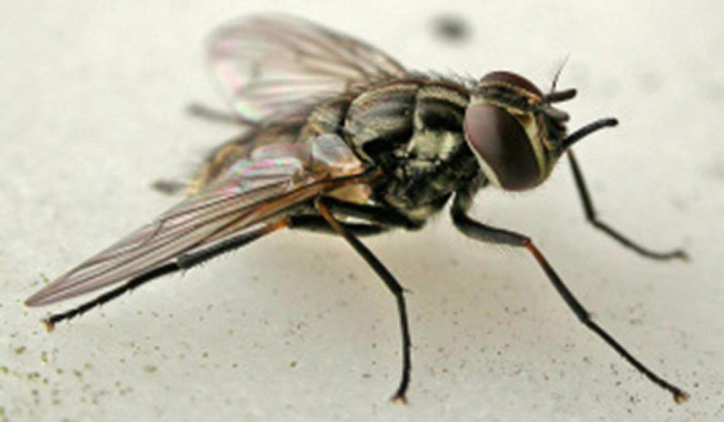 Wanneroo councillors cited stable fly breeding as one reason to refuse a compost pile in Carabooda.