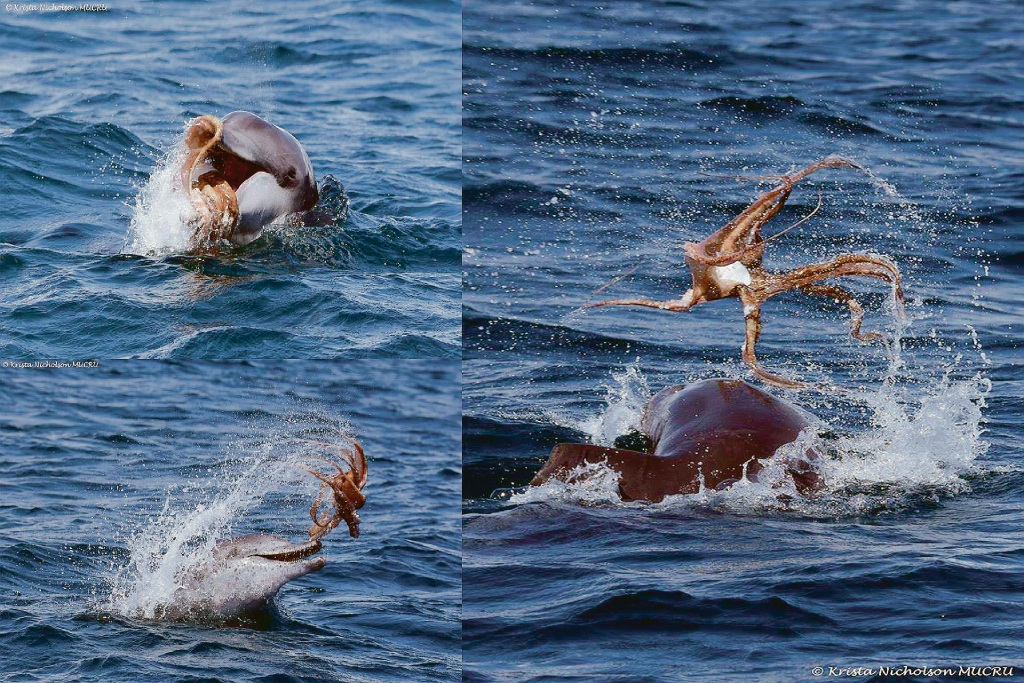 Mandurah dolphin photographed playing with octopus