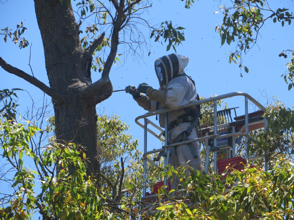 Feral bees have been removed from tree hollows at Bugle Tree Gully in Mundaring to allow native animals to return.