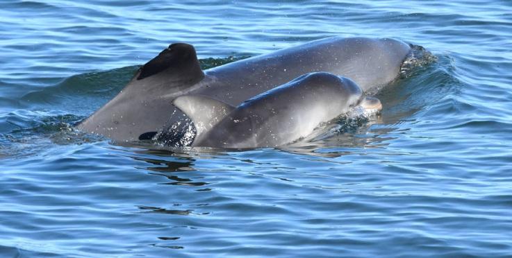Six baby dolphins in Mandurah waterways