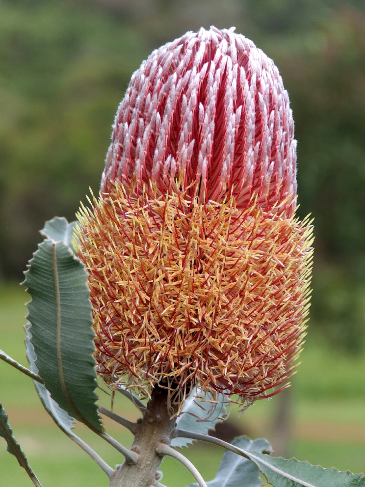 A flowering banksia, signifying that the Nyoongar season of Djeran is upon us.