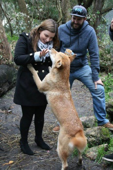 An intimate encounter with a dingo at Peel Zoo.