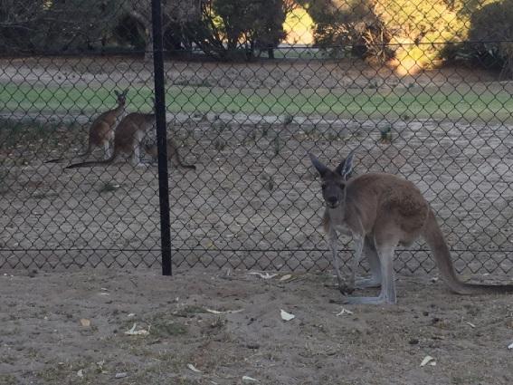 Kangaroos in Yanchep.