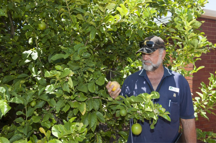 Department of Agriculture and Food officer Logan Stace checks a lemon tree in the Alfred Cove area.