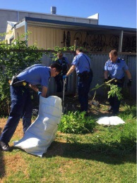 Two large cannabis plants were seized at a Belgravia Street home last week. Police during the search of a Belmont home's back yard.