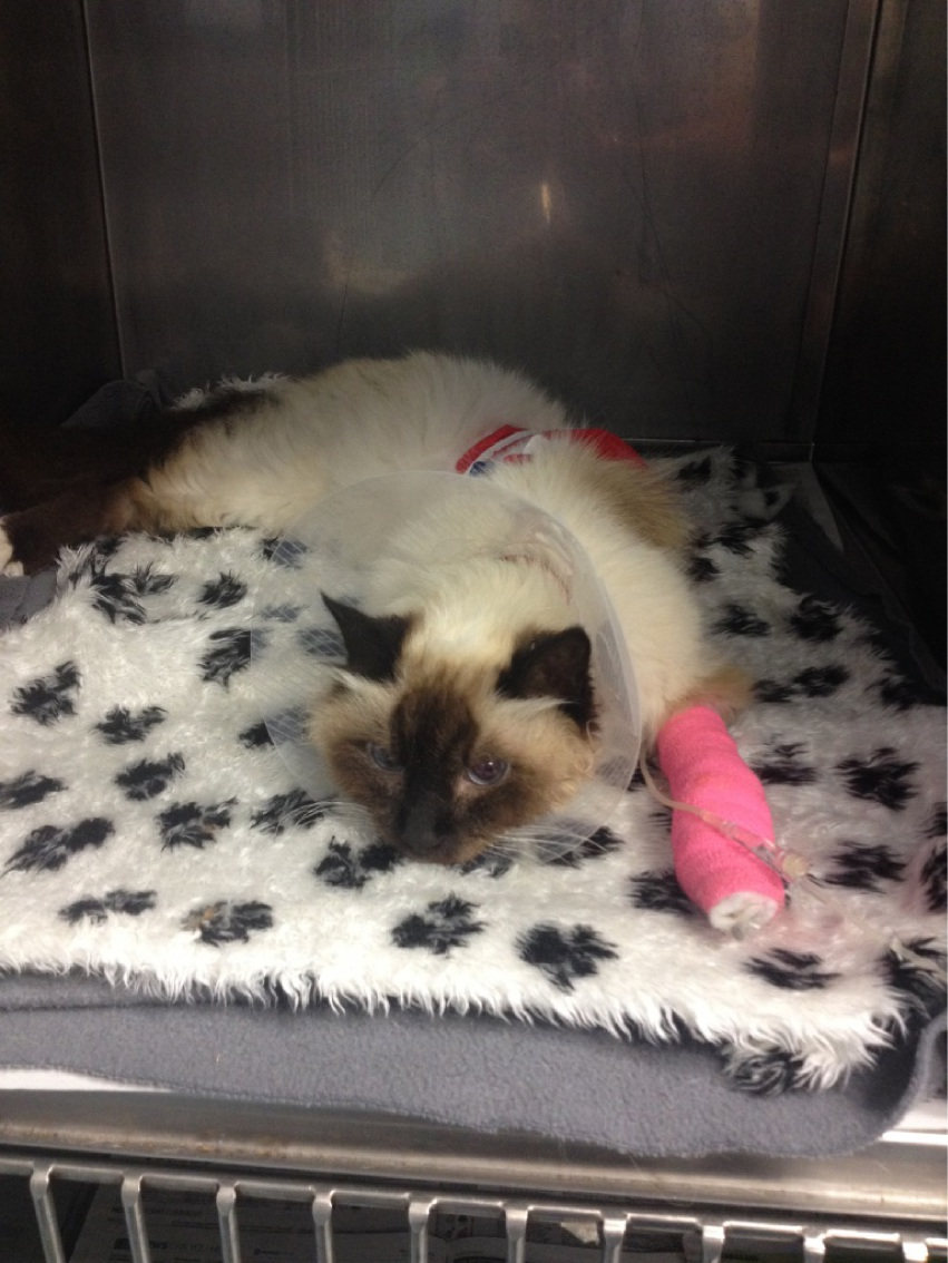 A cat recovers after sustaining a punctured lung.