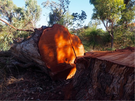 The felled tree near Forrest Road. Picture: Linda Manning
