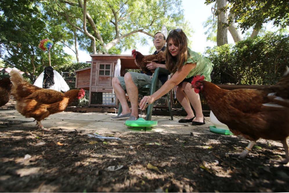 Brightwater-The Village resident Peter Groves cares for the chickens with therapy assistant Sally Cole.        Picture: Andrew Ritchie         www.communitypix.com.au   d448423
