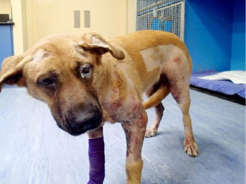 Tasha, a three-year-old german shepherd mastiff cross, was found by her owner early on Wednesday morning covered in blood. She was rushed to a Baldivis vet where an X-ray showed that her body was riddled with over 40 lead pellets.
