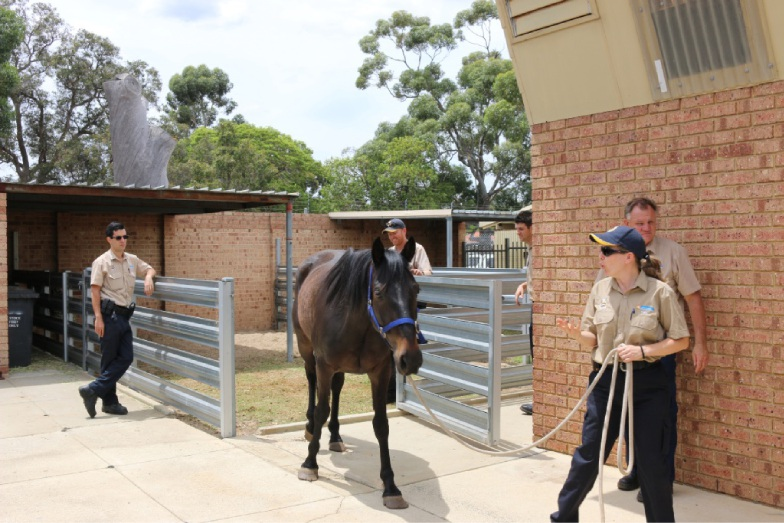 Eddie made himself useful during a recent stint at the pound, helping the rangers to hone their horse-handling skills.