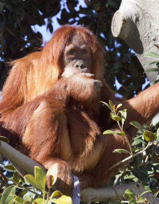Nyaru (8) left Perth Zoo for the Sumatran jungle this month.