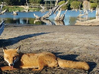 Foxes in the western suburbs are threatening local |native animals.