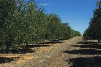 Production levels of best-quality olive oils are increasing every year as trees mature.