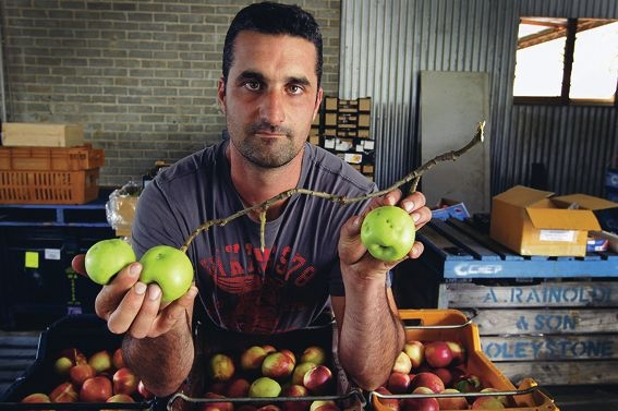 Fruit grower Anthony Caccetta holds up apples bearing the black indentation marks of the fruit fly. Picture: Marcelo Palacios www.communitypix.com.au d397966