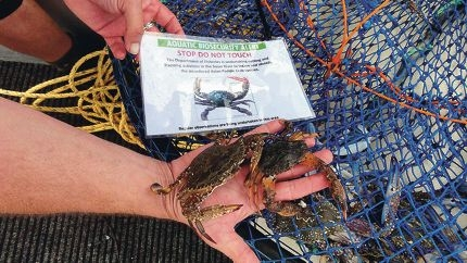 Crabbers are asked to look for the invasive asian paddle crab, pictured with native blue swimmers crabs.